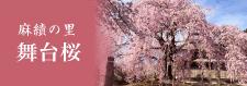 麻績の里 舞台桜